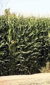 Modesto Corn Fields
